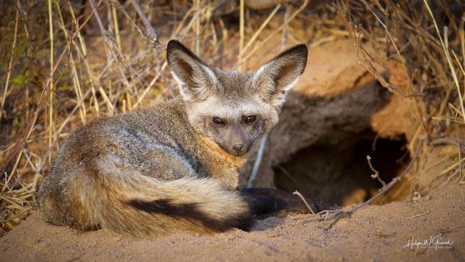 Loài cáo kỳ lạ nhất châu Phi: Dễ thương vô ngần mà đánh thắng cả báo săn
