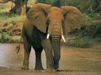 Rắc rối chuyện con voi sẩy thai