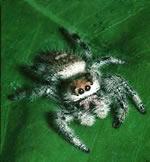 Muỗi cung cấp máu cho nhện
