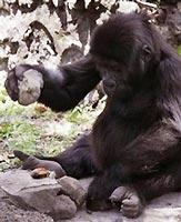 Gorilla có khả năng sử dụng công cụ