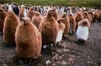 Cuộc sống khắc nghiệt của cánh cụt non