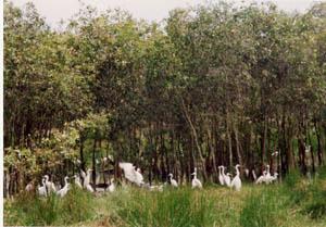 Phá rừng tràm ở đồng bằng sông Cửu Long: Nguy cơ vỡ tầng sinh thái
