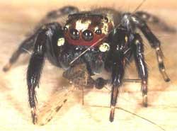 Loài nhện khát máu ở châu Phi