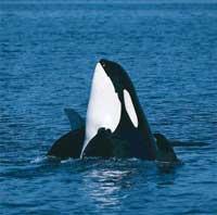 Cá voi biết hát