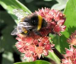 Loài ong có thể điều chỉnh tốc độ bay