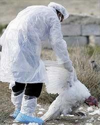 Cúm gia cầm tiếp tục diễn biến xấu tại châu Âu và châu Á