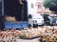 Lạng Sơn: Gà lậu vẫn tràn vào VN