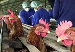 Châu Á: 102 triệu USD cho cuộc chiến chống cúm gia cầm