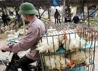 """Cúm gia cầm: thế giới lo """"sốt vó"""", còn Việt Nam?"""