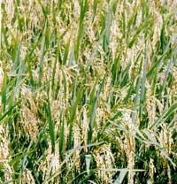 Tạo lúa chuyển gien chứa vắc-xin