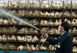 Phát hiện ổ dịch cúm gia cầm thứ 8 tại TQ