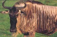 Linh dương đầu bò