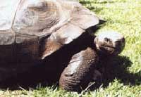 Cụ rùa Harriet tròn 175 tuổi