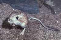 Chuột không uống nước