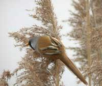 Đại dịch cúm gia cầm: Xử lý ra sao với đàn chim quý?