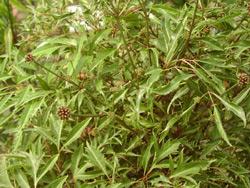 Cây Đinh Lăng - vị thuốc quý