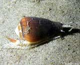 Con ốc biển và câu chuyện lấy độc trị độc