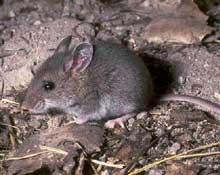 Những con chuột không biết sợ