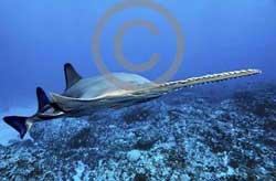 Cá kiếm Pristis perotteti