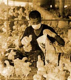 Xuất hiện virus cúm gà đột biến ở Campuchia