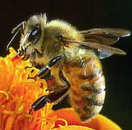 Khỏe đẹp với sữa ong chúa và phấn hoa ong