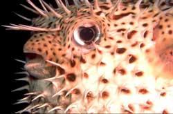 Cá nhím Diodon hystrix
