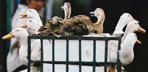 Dịch cúm gia cầm xuất hiện tại Quảng Trị