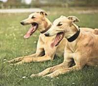 Vì sao chó săn chạy nhanh hơn người?