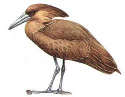 Chim đầu búa