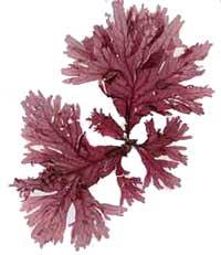 Khi tảo biển nở hoa...