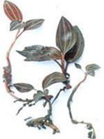 Phát hiện loài lan kim tuyến quý hiếm tại Quảng Trị