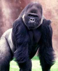 Khỉ đột cũng bị mãn kinh