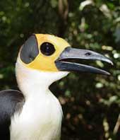 Chim hói đầu Picathartes gymnocephalus
