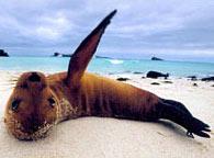 Bãi biển Galapagos bốc mùi vì... sư tử biển