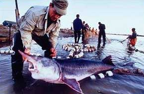 Cá tầm trắng Huso huso