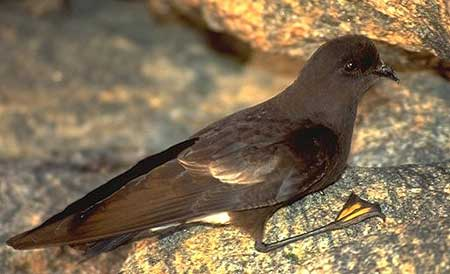 Chim nhàn biển Wilson