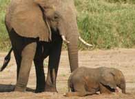 Đoán thực đơn của voi qua đuôi