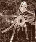 Những con nhện có bộ mặt vui vẻ