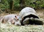 Hà mã con thân với rùa già