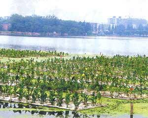 Biện pháp làm sạch hồ bằng hoa của Trung Quốc