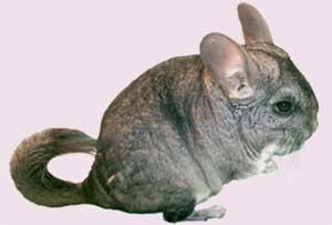 Chuột Chinchilla