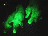 Lợn phát sáng huỳnh quang