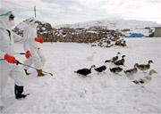 Kinh nghiệm chống cúm gà VN có thể giúp Thổ Nhĩ Kỳ
