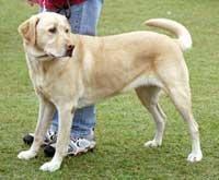 Phát hiện ung thư nhờ… chó