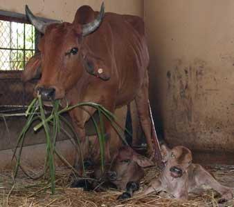 Xác định giới tính để sản xuất bò sữa cao sản