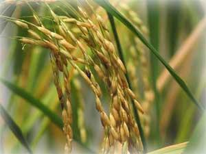 Lai tạo thành công giống  lúa từ công nghệ gen