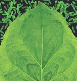 Dùng thực vật tạo vắc-xin ngừa dịch hạch