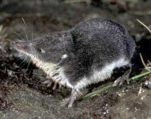 Chuột chù thợ lặn