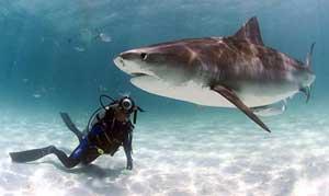 Cá mập báo Galeocerdo cuvieri