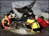 Cá voi vào sông Thames đã chết